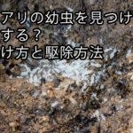 シロアリの幼虫を見つけたらどうする?見分け方と駆除方法